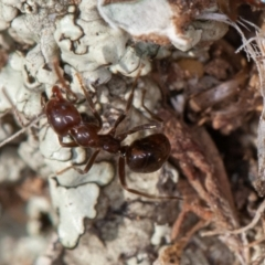Papyrius sp. (genus) (A Coconut Ant) at Symonston, ACT - 9 Sep 2021 by rawshorty
