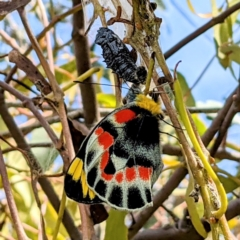 Delias harpalyce (Imperial Jezebel) at Tuggeranong DC, ACT - 10 Sep 2021 by HelenCross