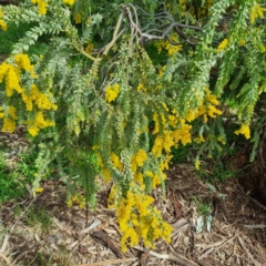 Acacia vestita (Hairy Wattle) at Griffith, ACT - 10 Sep 2021 by CCMB