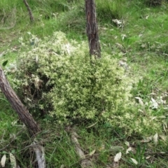 Clematis leptophylla (Small-leaf Clematis, Old Man's Beard) at Hawker, ACT - 9 Sep 2021 by sangio7
