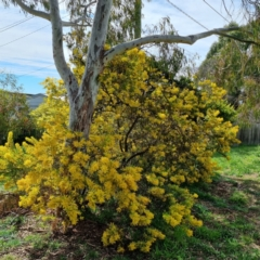 Unidentified Wattle (TBC) at Griffith, ACT - 10 Sep 2021 by CCMB