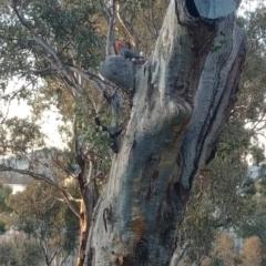 Callocephalon fimbriatum (Gang-gang Cockatoo) at Hughes, ACT - 10 Sep 2021 by Rebreay