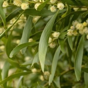 Acacia melanoxylon at Penrose, NSW - 26 Aug 2021