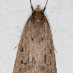 Unidentified Concealer moth (Oecophoridae) (TBC) at Melba, ACT - 2 Sep 2021 by kasiaaus