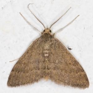 Scopula (genus) at Melba, ACT - 31 Aug 2021