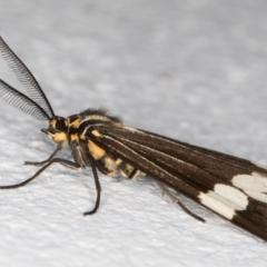 Nyctemera amicus (Senecio or Magpie moth) at Melba, ACT - 31 Aug 2021 by kasiaaus
