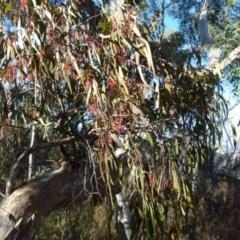 Amyema pendula subsp. pendula (Mistletoe) at Boro, NSW - 7 Sep 2021 by Paul4K