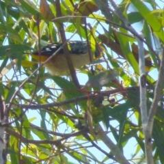 Pardalotus punctatus (Spotted Pardalote) at Boro, NSW - 8 Sep 2021 by Paul4K