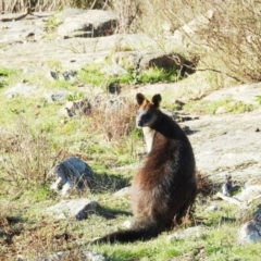 Wallabia bicolor (Swamp Wallaby) at Stromlo, ACT - 10 Sep 2021 by HelenCross