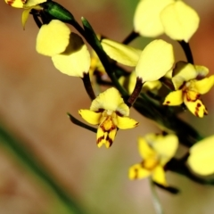 Diuris pardina (Leopard Doubletail) at Mittagong, NSW - 11 Sep 2021 by Snowflake