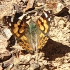 Vanessa kershawi (Australian Painted Lady) at Downer, ACT - 11 Sep 2021 by LD12