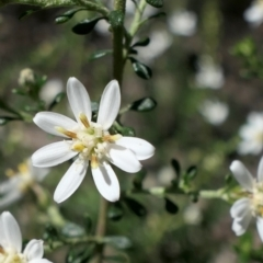 Olearia microphylla (Olearia) at Gundaroo, NSW - 11 Sep 2021 by MaartjeSevenster