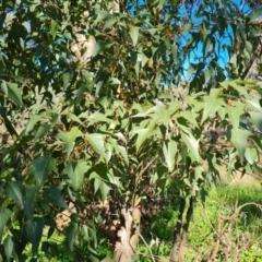 Brachychiton populneus subsp. populneus (Kurrajong) at Farrer, ACT - 11 Sep 2021 by Mike