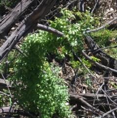Asparagus asparagoides at Campbell, ACT - 11 Sep 2021