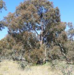 Eucalyptus blakelyi (Blakely's Red Gum) at Wanniassa, ACT - 8 Sep 2021 by MatthewFrawley