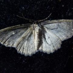 Ectropis fractaria (Ringed Bark Moth) at Boro, NSW - 8 Sep 2021 by Paul4K