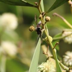 Unidentified Wasp (Hymenoptera, Apocrita) (TBC) at Killara, VIC - 10 Sep 2021 by Kyliegw