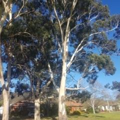 Eucalyptus globulus subsp. maidenii (Maiden's gum, Blue Gum) at Ainslie, ACT - 11 Sep 2021 by danswell