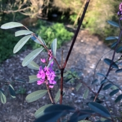 Indigofera australis subsp. australis (Australian Indigo) at Macquarie, ACT - 11 Sep 2021 by Dora
