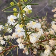 Acacia genistifolia (Early Wattle) at Bruce, ACT - 11 Sep 2021 by JVR