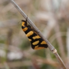Tanyzancla argutella (A concealer moth) at Tralee, ACT - 10 Sep 2021 by RAllen