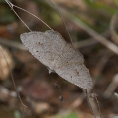 Casbia pallens (Pale Casbia) at Theodore, ACT - 10 Sep 2021 by RAllen
