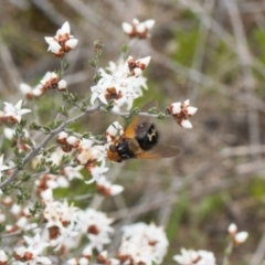 Microtropesa sp. (genus) (Tachinid fly) at Theodore, ACT - 10 Sep 2021 by RAllen