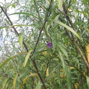 Solanum simile at Flinders Chase, SA by laura.williams