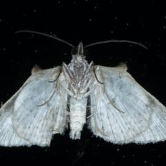 Phrissogonus laticostata at Ainslie, ACT - 10 Sep 2021