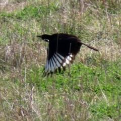 Corcorax melanorhamphos (White-winged Chough) at Macarthur, ACT - 11 Sep 2021 by RodDeb