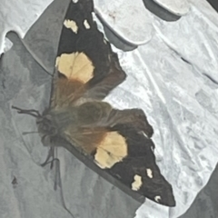 Vanessa itea (Yellow Admiral) at Queanbeyan West, NSW - 11 Sep 2021 by Yasmin