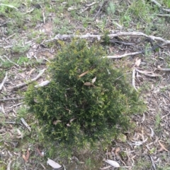 Hakea decurrens (TBC) at Downer, ACT - 10 Sep 2021 by Ned_Johnston