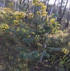 Acacia baileyana (Cootamundra Wattle, Golden Mimosa) at O'Connor, ACT - 10 Sep 2021 by Ned_Johnston