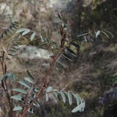 Indigofera australis subsp. australis (Australian Indigo) at Tennent, ACT - 1 Sep 2021 by michaelb