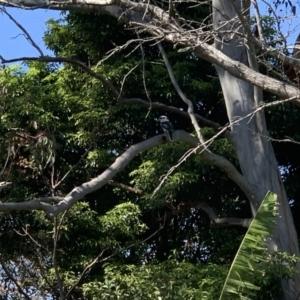 Dacelo novaeguineae at Kotara South, NSW - 12 Sep 2021