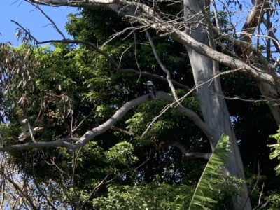 Dacelo novaeguineae (Laughing Kookaburra) at Kotara South, NSW - 12 Sep 2021 by Philb