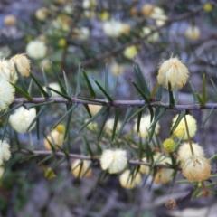 Acacia genistifolia (Early Wattle) at Tuggeranong DC, ACT - 8 Sep 2021 by MatthewFrawley