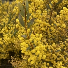 Acacia buxifolia subsp. buxifolia (Box-leaf Wattle) at Theodore, ACT - 10 Sep 2021 by AnneG1