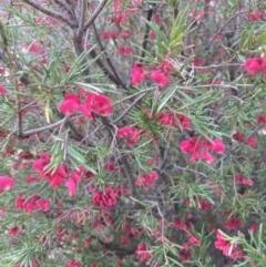 Grevillea rosmarinifolia subsp. rosmarinifolia at Theodore, ACT - 10 Sep 2021