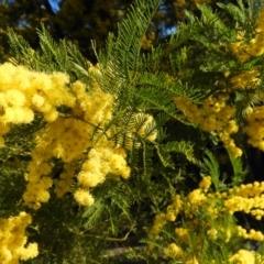 Acacia decurrens (Green Wattle) at Tuggeranong DC, ACT - 8 Sep 2021 by MatthewFrawley