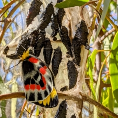 Delias harpalyce (Imperial Jezebel) at Tuggeranong DC, ACT - 11 Sep 2021 by HelenCross