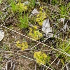 Drosera sp. (A Sundew) at Kambah, ACT - 12 Sep 2021 by HelenCross