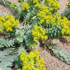 Euphorbia myrsinites at Theodore, ACT - 12 Sep 2021
