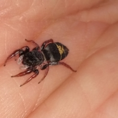 Apricia jovialis (Jovial jumping spider) at Greenleigh, NSW - 11 Sep 2021 by LyndalT