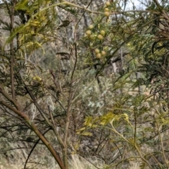 Acacia decurrens (Green Wattle) at Hackett, ACT - 12 Sep 2021 by abread111