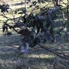 Eucalyptus globulus subsp. bicostata (Southern Blue Gum, Eurabbie) at Hughes, ACT - 6 Sep 2021 by Tapirlord