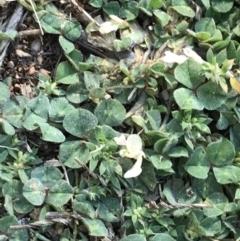 Trifolium subterraneum (Subterranean Clover) at Point One - 6 Sep 2021 by Tapirlord