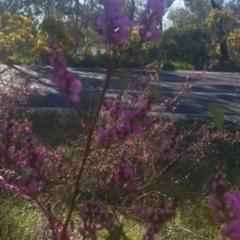 Indigofera australis subsp. australis (Australian Indigo) at Watson, ACT - 11 Sep 2021 by MAX