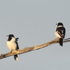 Cracticus nigrogularis (Pied Butcherbird) at Stromlo, ACT - 11 Sep 2021 by HelenCross