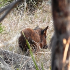 Sus scrofa (Pig (feral)) at Stromlo, ACT - 11 Sep 2021 by HelenCross
